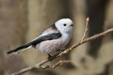 Long-tailed tit sitting on the branch with brown background. song bird in the nature habitat. wildlife scene from nature habitat. Aegithalos caudatus.