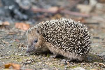 young west European hedgehog on the ground. Common hedgehog. Erinaceus europaeus
