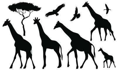 Set of 5 giraffes silhouettes on white background. Giraffe vector illustrations.