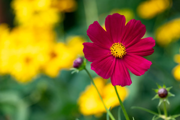 red flower on a summer day, bokeh of yellow