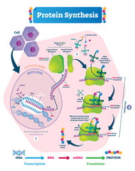 Protein synthesis vector illustration. Transcription and translation.