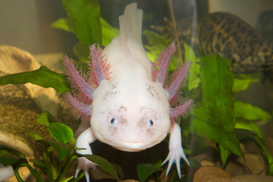 Underwater Axolotl portrait close up in an aquarium. Mexican walking fish. Ambystoma mexicanum.