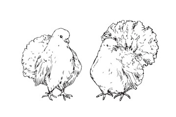 White pigeones couple, hand drawn doodle, sketch outline, vector illustration