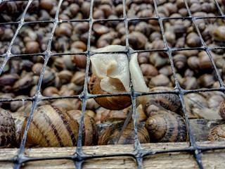 Garden snail. Helix aspersa Muller. Mollusc from gastropods.
