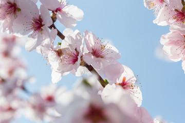 Kirschblüte im Neckartal