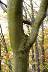 Beech trunk in the forest