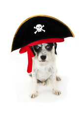 FUNNY HALLOWEEN DOG PIRATE COSTUME ISOLATED AGAINST WHITE BACKGROUND
