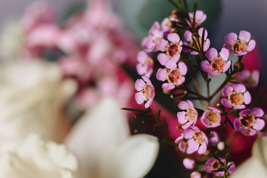 chamelaucium flower on simple background