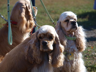 Dog breed American Cocker Spaniel