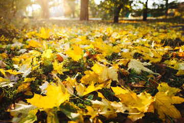Wall Mural - Yellow maple leaves cover the ground on a sunny autumn day. Wide angle photo