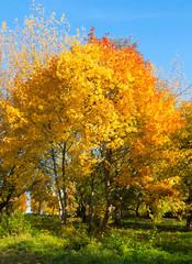 Autumn landscape. Golden leaves on blue sky background