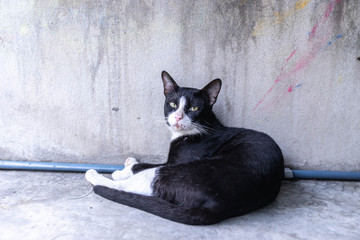 portrait stray black cat lying on grunge cement wall