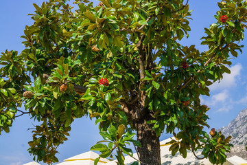 Magnolia trees after flowering. Magnolia fruits, like cones with red kernels