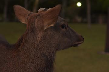 Veado animal fauna