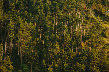 Evergreen forest on the slope of rocky mountains