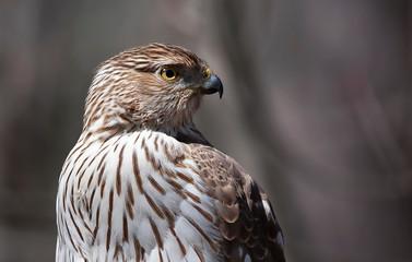 Cooper's Hawk closeup in autumn in Canada Fototapete
