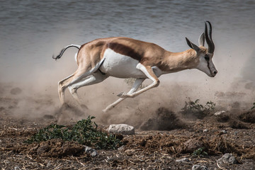 Papiers peints Antilope fast fleeing springbok