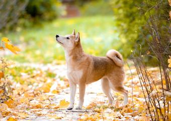 Shiba Inu sitting in yellow autumn leaves