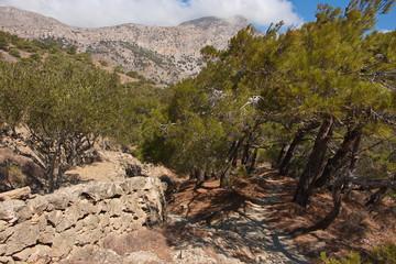 Pine tree on Karpathos in Greece