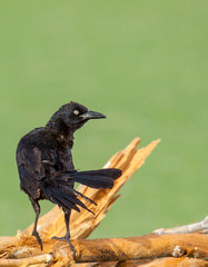 male great-tailed grackle perched on branch