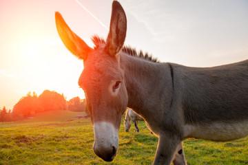 Fotobehang Ezel donkey grazing