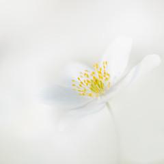 Weiße Blumen - Buschwindröschen (wood anemone)