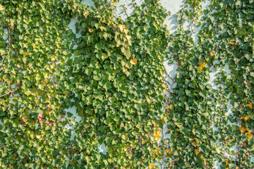 green ivy foliage Hedera helix on a wall - floral texture close up
