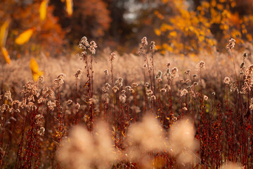 Herbstleuchten Verblühte kanadische Goldrute ( solidago canadensis )