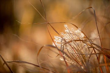 Ornamental grass in autumn at sunset.