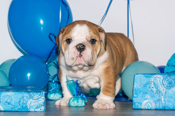 Cute puppy of English Bulldog