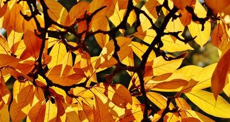 Magnolie im Herbst