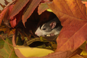 rat autumn, great composition for the new year calendar