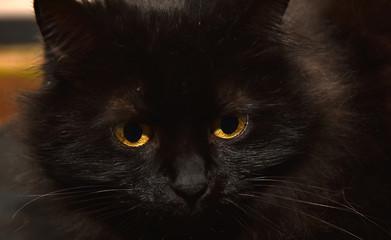 sad black fluffy cat portrait