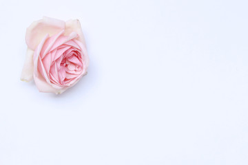 Styled desktop scene with fresh pink roses copy space on white background. Flat lay, top view. Romance and love card concept. Empty space for your text