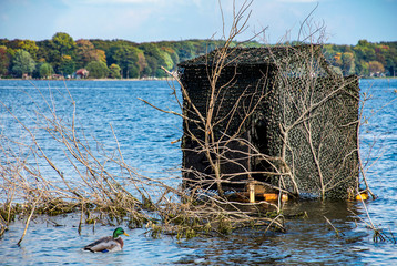 mallard duck and duck blind in blue lake water camouflaged by branches