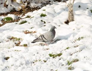 flock of pigeons on snow in winter