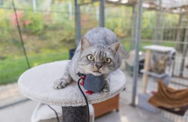 Graue Britisch Kurzhaar Katze BKH