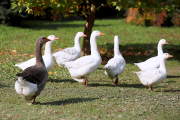 Goose and ducks live peacefully in the poultry farm rural scene