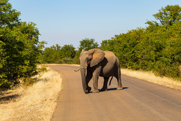 Elephant in Kruger Park cross the road
