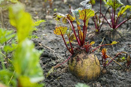 Beetroot in a vegetable garden