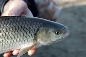 Chub (Squalius cephalus) in the hand of fisherman