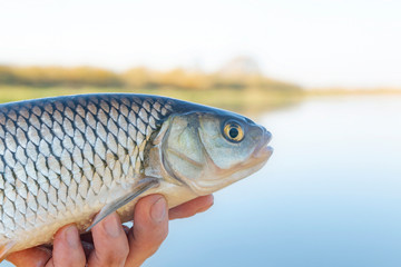 Chub (Squalius cephalus) in the hands of a fisherman against the river