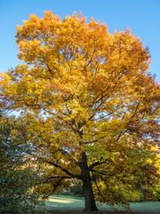 Großer Laubbaum im Herbst