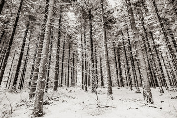 Mystery pine snow pine tree forest. Image in black and white color