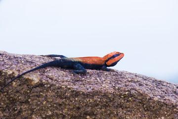 Peninsular Rock Agama lizard sitting on the rock in its natural habitat.