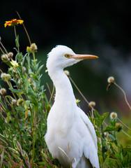 Cattle Egret in the garden in its natural habitat.