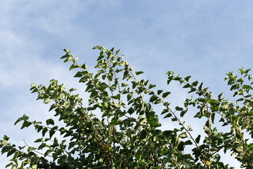 mulberry leaves against the sky