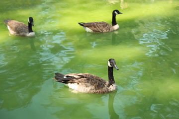 Beautiful geese swimming in pond on sunny day