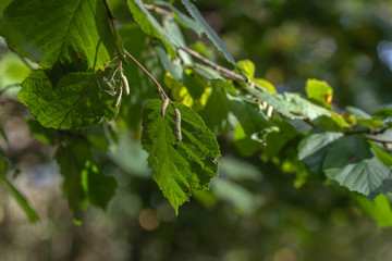 hezelnut tree leaves