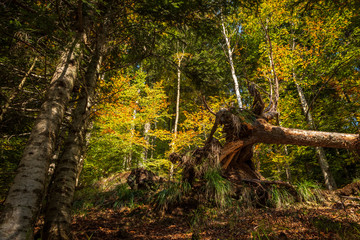 Fallen, uprooted tree in a magical wood in autumn